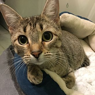 Domestic Shorthair Cat for adoption in Arlington/Ft Worth, Texas - Jessie