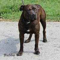 American Pit Bull Terrier Mix Dog for adoption in Madisonville, Tennessee - Bubba
