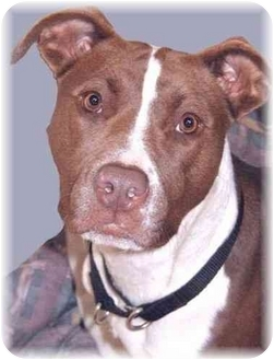 American Pit Bull Terrier Mix Dog for adoption in Grass Valley, California - Flower