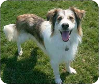 Australian Cattle Dog Mix Dog for adoption in Phoenix, Oregon - Gunner
