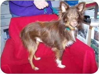 Australian Shepherd Dog for adoption in Anna, Illinois - RUSTY