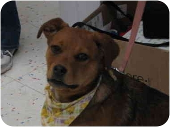 German Shepherd Dog/Corgi Mix Puppy for adoption in Bowie, Maryland - Meredith