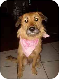 Airedale Terrier/Terrier (Unknown Type, Medium) Mix Dog for adoption in Beaumont, Texas - Sugar