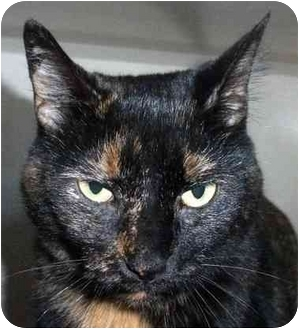 Domestic Shorthair Cat for adoption in Chicago, Illinois - Ember