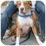 Photo 2 - American Staffordshire Terrier/American Pit Bull Terrier Mix Dog for adoption in Berkeley, California - Simone