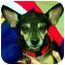 Photo 3 - Chihuahua/Miniature Pinscher Mix Dog for adoption in Palatine, Illinois - Gracie