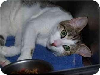 Domestic Shorthair Cat for adoption in El Cajon, California - Rocky