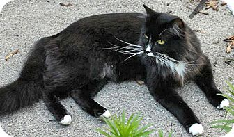 Domestic Longhair Cat for adoption in Howell, Michigan - Arnold and Millie