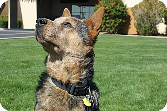 Australian Cattle Dog Mix Dog for adoption in Phoenix, Arizona - Cooper