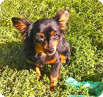 Chihuahua Mix Dog for adoption in Wichita, Kansas - Peso