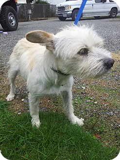 Westie, West Highland White Terrier Mix Dog for adoption in Yelm, Washington - Lorry