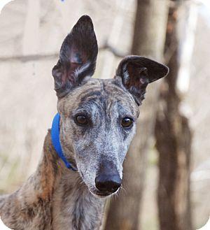 Greyhound Dog for adoption in Ware, Massachusetts - Sebastian