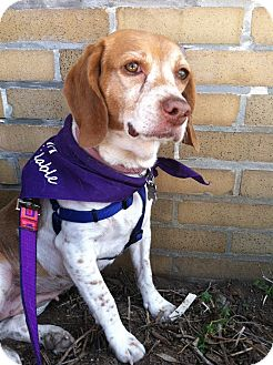 Beagle Mix Dog for adoption in Baltimore, Maryland - Bailey