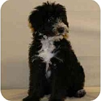 Adopt A Pet :: Blitzen - Scottsdale, AZ