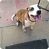 Pit Bull Terrier/Hound (Unknown Type) Mix Dog for adoption in San Dimas, California - Kanani