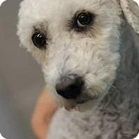 Adopt A Pet :: Emily Rose - NON SHED! - Phoenix, AZ