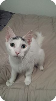 Turkish Van Cat for adoption in Tampa, Florida - Dazzler