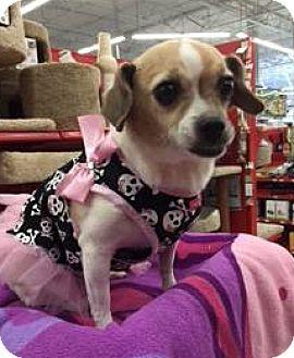 Beagle/Terrier (Unknown Type, Small) Mix Dog for adoption in Phoenix, Arizona - Sienna