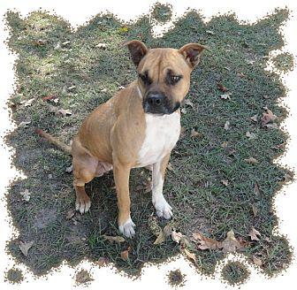 Boxer/Bulldog Mix Dog for adoption in Ozark, Alabama - Harlow