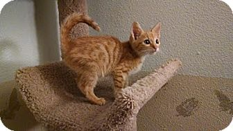 Domestic Shorthair Kitten for adoption in Tampa, Florida - Heathcliff