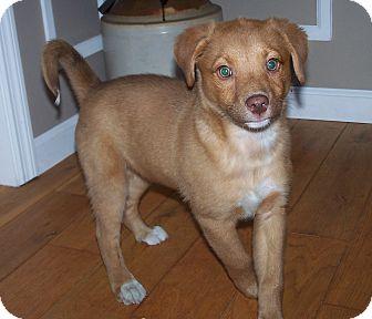 English Shepherd/Sheltie, Shetland Sheepdog Mix Puppy for adoption in Milford, New Jersey - Ramos