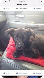 Flat-Coated Retriever Mix Dog for adoption in Alpharetta, Georgia - Bear