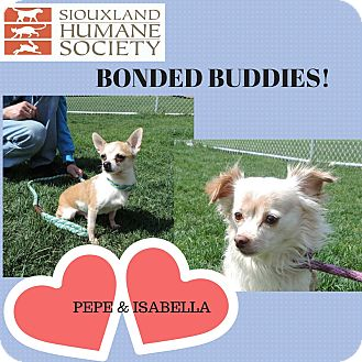 Chihuahua Mix Dog for adoption in Sioux City, Iowa - PEPE/ISABELLA