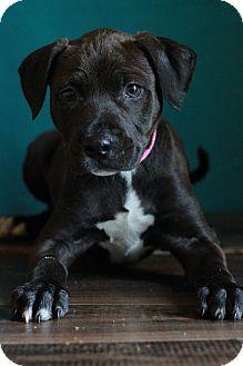 Labrador Retriever Mix Puppy for adoption in Waldorf, Maryland - Penny