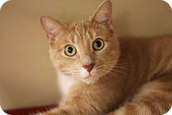 American Shorthair Cat for adoption in Richmond, Virginia - Duffy