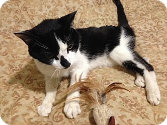 Domestic Shorthair Cat for adoption in Edgewater, New Jersey - Little
