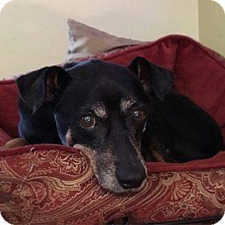 Miniature Pinscher Dog for adoption in Davie, Florida - Bubba