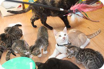Domestic Shorthair Kitten for adoption in St. Louis, Missouri - Maddox