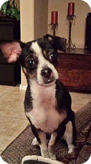 Boston Terrier/Chihuahua Mix Dog for adoption in Mesa, Arizona - Oreo