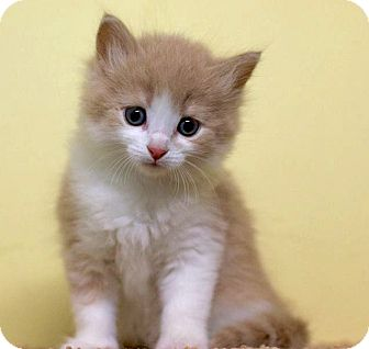 Domestic Longhair Kitten for adoption in Troy, Michigan - Maxie