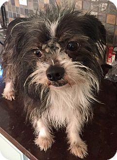 Lhasa Apso/Schnauzer (Miniature) Mix Dog for adoption in Moosup, Connecticut - LITTLE MILTON