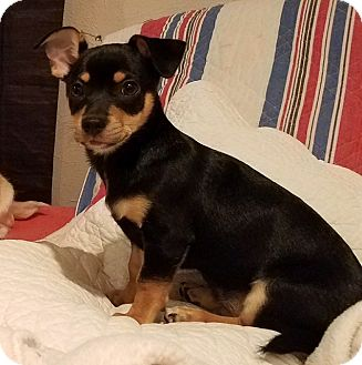 Chihuahua/Dachshund Mix Puppy for adoption in Dallas, Texas - Moose