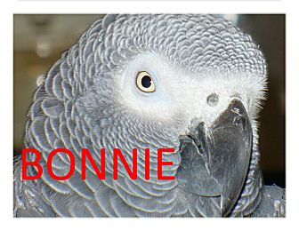 African Grey for adoption in Vancouver, Washington - Bonnie –Boy  The African Grey