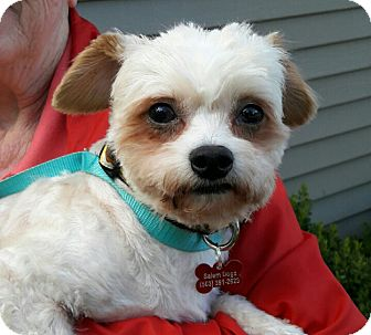 Maltese/Poodle (Miniature) Mix Dog for adoption in Salem, Oregon - Alfie