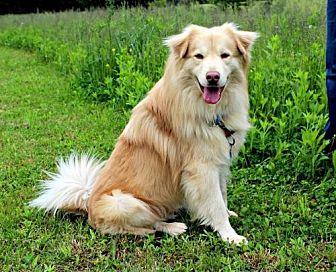 Golden Retriever/Australian Cattle Dog Mix Dog for adoption in Dillsburg, Pennsylvania - Shammie