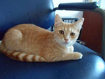 Domestic Shorthair Kitten for adoption in Montello, Wisconsin - Cricket
