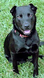 Labrador Retriever Mix Dog for adoption in Vancouver, British Columbia - Apollo