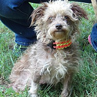Terrier (Unknown Type, Small)/Poodle (Miniature) Mix Dog for adoption in Burlington, Vermont - Andy (12 lb) Adorable