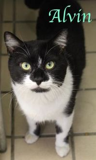 Domestic Shorthair/Domestic Shorthair Mix Cat for adoption in Bradenton, Florida - Alvin