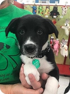 Border Collie Mix Puppy for adoption in Allen, Texas - Boomer