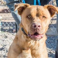 Adopt A Pet :: Remington - Rio Rancho, NM