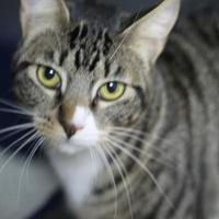 Domestic Shorthair/Domestic Shorthair Mix Cat for adoption in Covington, Louisiana - Church