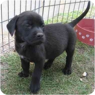 Labrador Retriever/Border Collie Mix Puppy for adoption in Hammonton, New Jersey - Charlie