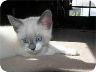 Ragdoll Kitten for adoption in Davis, California - Tubbs