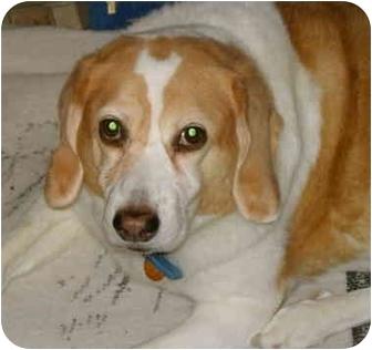 Beagle/Collie Mix Dog for adoption in Cincinnati, Ohio - Poochie: Bereaved Beagle :~(