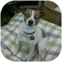 Jack Russell Terrier Dog for adoption in Troy, Ohio - Sparkles